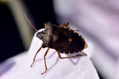 Forest ShieldBug på blommakronbladet Fotografering för Bildbyråer