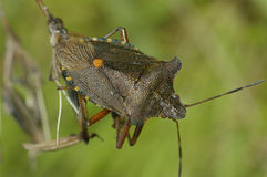 Forest Shieldbug Royalty Free Stock Images