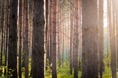 Forest shining at sunset stock image