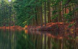 Forest Shoreline Reflections. Autumn Pines reflecting in a forest lake stock images