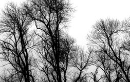 Forest of Silhouettes. Black and whtie tops of bare trees in the woods reaching upward and branching out against an overcast sky royalty free stock image