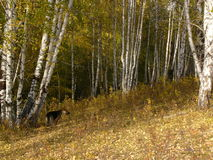 Forest of silver birch. It was taken in forest of silver birch in autumn Royalty Free Stock Photo