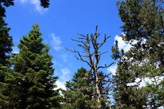 Forest of silver fir tree and dead tree
