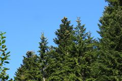Forest of silver fir tree
