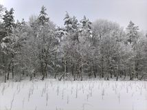 Forest Silviculture Old & Young. Frosted trees. Cloudy cold day Royalty Free Stock Photos