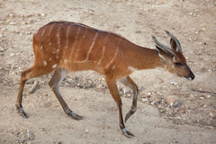 Forest sitatunga Tragelaphus spekii gratus. Also known as the forest marshbuck Stock Image