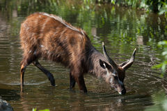 Forest sitatunga (Tragelaphus spekii gratus). Stock Photo
