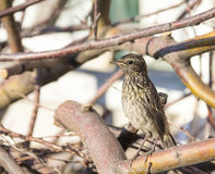 Forest Skate, forest pipit, a bird Royalty Free Stock Image