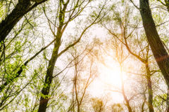 Forest and Sky with Sun Royalty Free Stock Photography