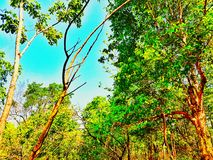 Forest. Sky tree stock photography