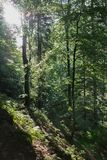 Forest slope of fresh greenery, trees and sun rays through the foliage stock photos
