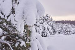 Forest of lush pines covered with snow in winter, close-up royalty free stock images