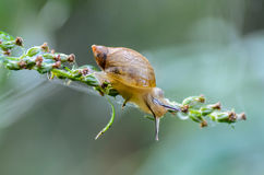 Forest snail. Crawling on  branch of grass Stock Images