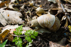 Forest snail in his natural habitat Stock Photography