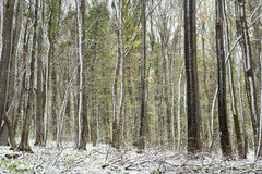 Forest in the snow Royalty Free Stock Image