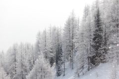 Forest in snow Royalty Free Stock Image
