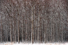 Forest in snow Royalty Free Stock Photo