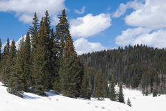 Forest in snow. Coniferous forest in snow on the Grand Mesa, Colorado in late winter Stock Photos