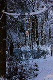 Forest in snow. Coniferous forest in snow, backlight Royalty Free Stock Photo