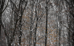 Forest with snow and red leaf Royalty Free Stock Images