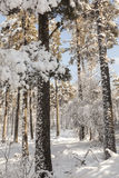 Forest in Snow in Scotland. Snow laden trees in Bunzeach forest in Scotland Royalty Free Stock Photo