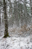 Forest in Snow in Scotland. Snow laden trees in Bunzeach forest in the Highlands of Scotland Stock Images