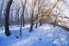 The forest in the snow on a winter evening Stock Photography