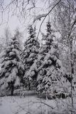 Forest in snow. Winter in Russia. Snowy spruces in overcast day stock images