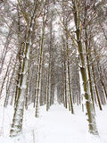 Forest Snowfall Stock Image