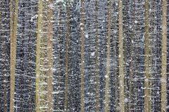 Forest in snowfall. Conifer forest in winter snowfall. Trunks and sticks covered by snow with snowfall.Excellent for texture or background Royalty Free Stock Photography