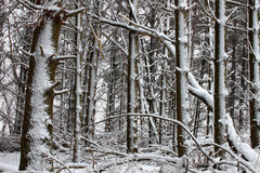 Forest Snowfall in Midwest America Royalty Free Stock Image