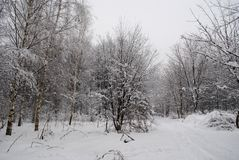 The forest after a snowfall, trails in the forest. Forest after a snowfall, trails in the woods, trails, walking in the winter woods, holiday. snowfall in Russia Royalty Free Stock Image
