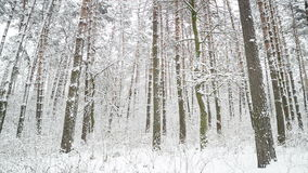 Forest after snowfall. Winter landscape. stock video