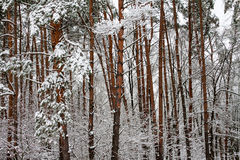 Forest after snowstorm. Royalty Free Stock Images