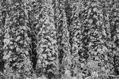 Forest of snowy trees. Black and white close up of forest of snow covered conifer trees in winter Royalty Free Stock Photo