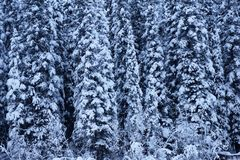 Forest of snowy trees. Close up of forest of snow covered conifer trees in winter Royalty Free Stock Image