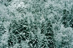 Forest of snowy white Christmas trees, Pyrenees, France stock photography