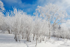 Forest with soft rime and blue sky Royalty Free Stock Image