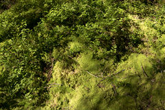 Forest soil with moss Stock Image