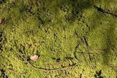 Forest soil with moss Royalty Free Stock Images