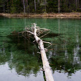 Forest and source. Blue spring lake and old tree stump fallen into water. Stock Photo