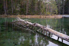 Forest and source. Blue spring lake and old tree stump fallen into water Stock Images