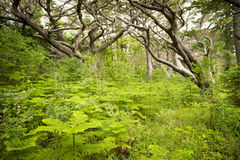 Forest South Pacific Royalty Free Stock Image