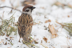 Forest sparrow Royalty Free Stock Photos
