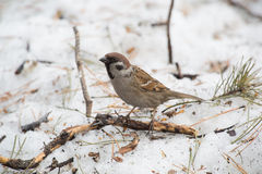 Forest sparrow Stock Images