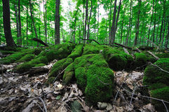 Forest - Sphagnum moss 2 Royalty Free Stock Image