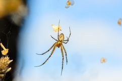 Forest spider in center of its web Royalty Free Stock Images