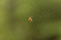 Forest spider Royalty Free Stock Photography