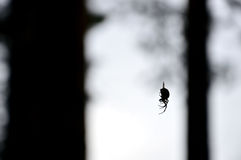 Forest spider. Hanging on a thin thread among the tree trunks stock photo