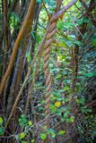 Spiral tree or spiral vine. In forest with spiral tree or spiral vine Royalty Free Stock Photography